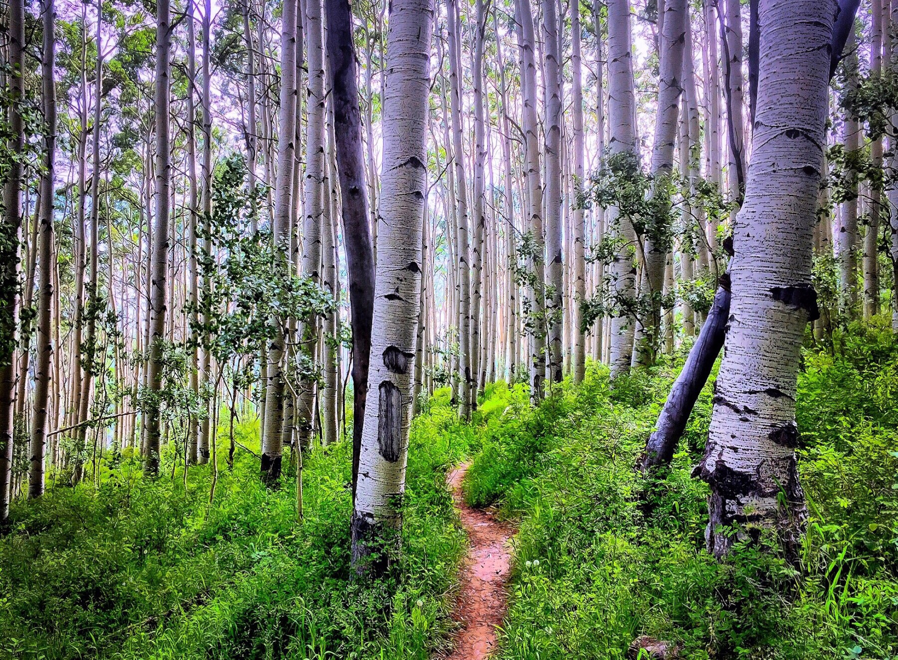 aspen groves line the up-country part of the whole enchilada trail