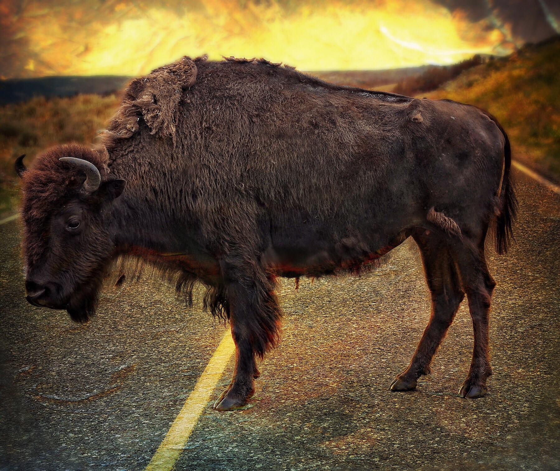 Bison know they're bad.