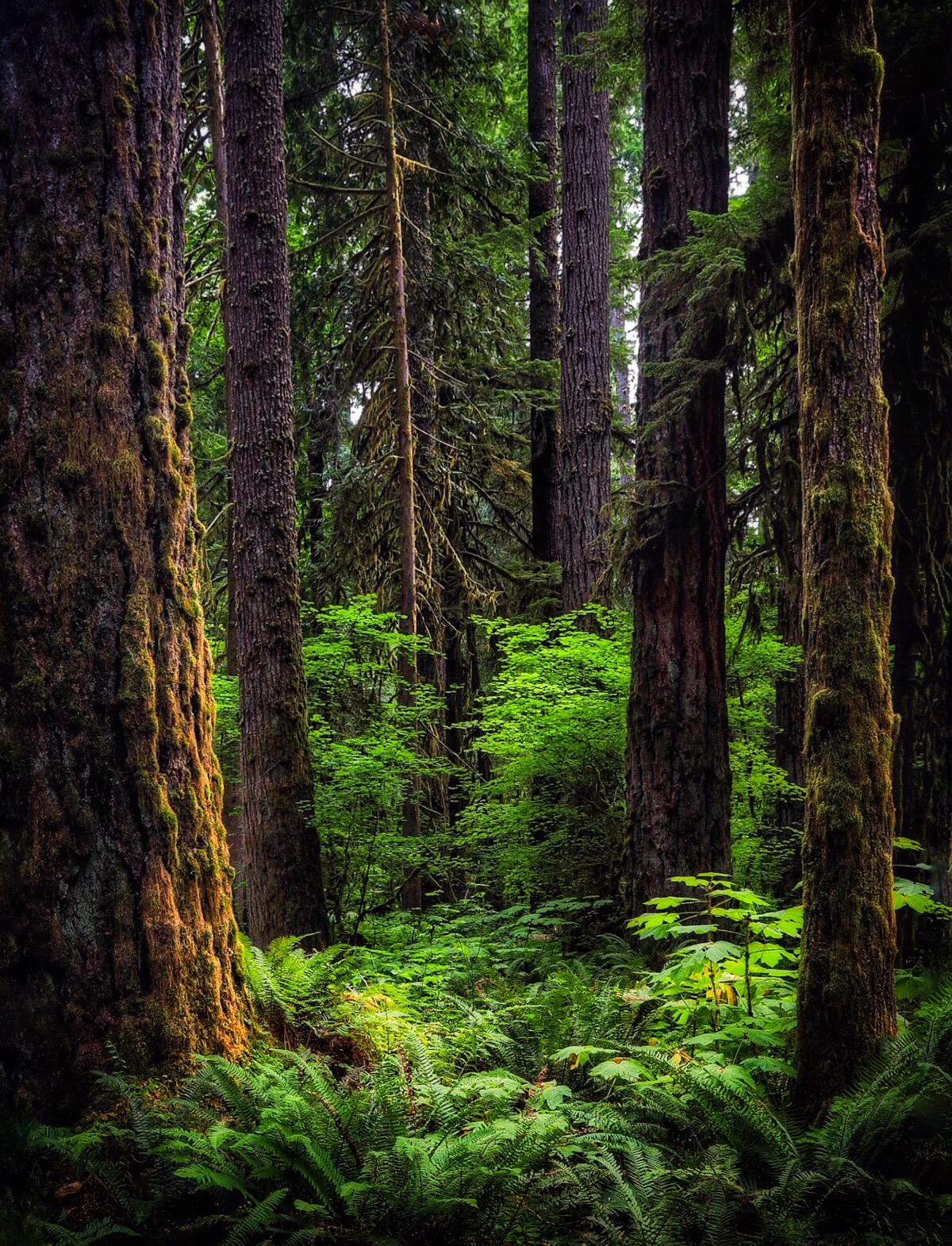 Rain forest in the Cascades
